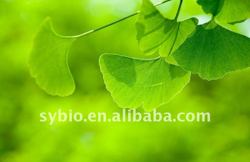 Ginkgo Biloba Extract 24.0%Flavones 6.0% lactones by HPLC CP/EP/USP