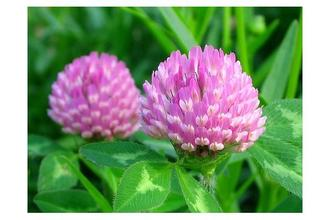 red clover extract with 8%,20%isoflavones,red clover extract isoflavones,trifolium pratense l