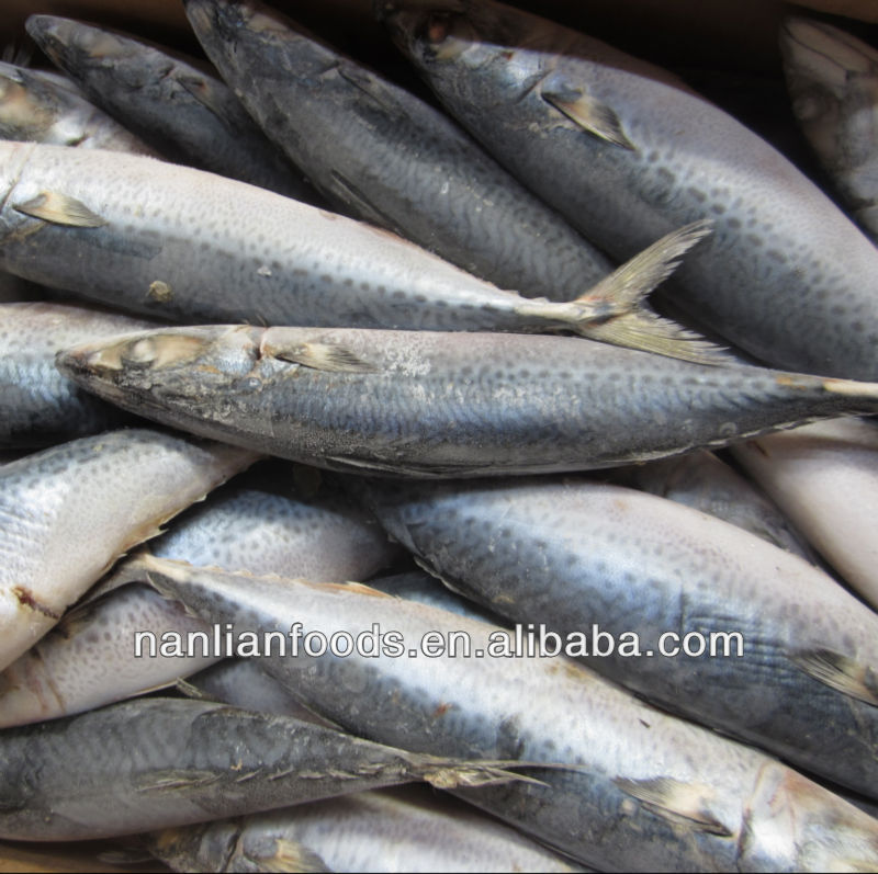 400-600g frozen fish pacific mackerel