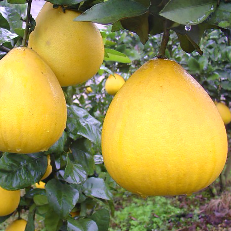 Competitive Price 100% Natural Pomelo Fruit
