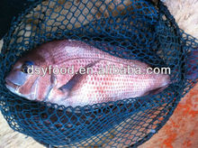 Red seabream fish