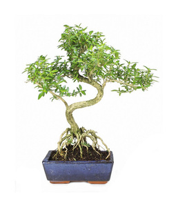 Live Plant Golden-Side Serissa Japonica Snow-In-June Bonsai