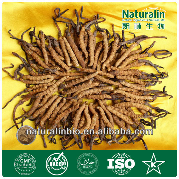 High quality Cordyceps Extract for men sexual enhancement