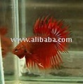 Red Crowntail Betta