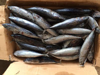 good quality Seafrozen bonito for sale whole round