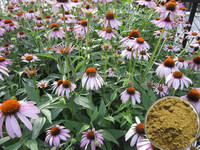 Hot selling plant extract china manufacturer polyphenols echinacea purpurea extract