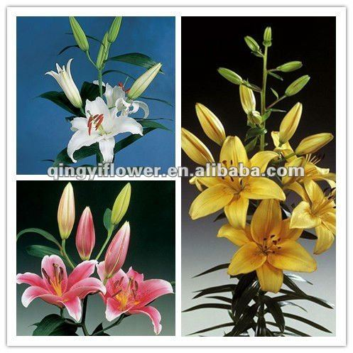 Pure and mild flavor exquisite Yunnan Kunming cut flowers oriental lilies