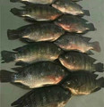 High quality good price of frozen tilapia