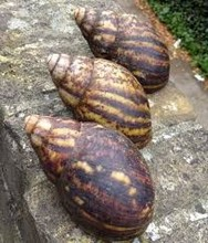 African Giant Snails For Sale, Snail Shells