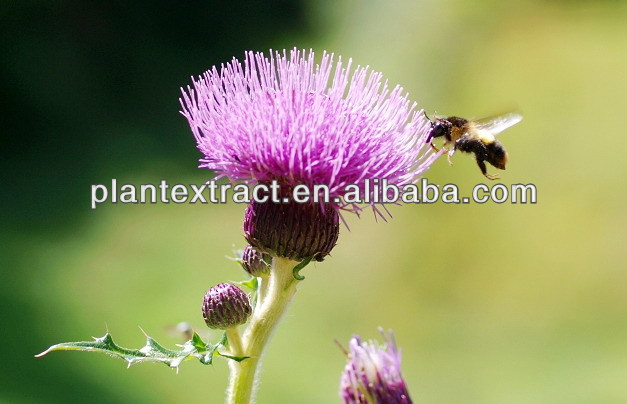 Silymarin/Milk Thistle P.E. (Extracted with Ethyl Acetate)