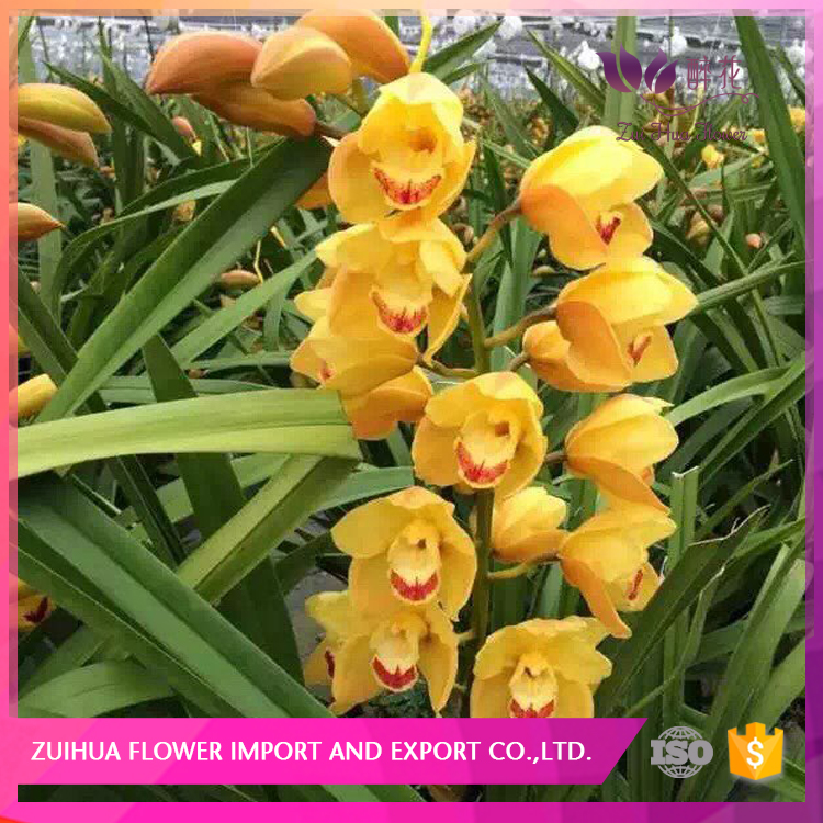 hot sale fresh cut flower orchid for floral wholesale