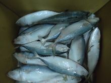 Indian Mackerel High quality fresh frozen fish and seafood delivered to you door