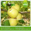 Export Fresh Green Apple