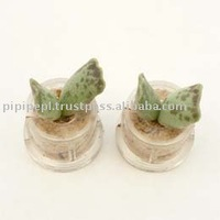 "Miniplant ""Cupid wings"" mini succulent plant with mobile phone strap"