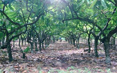 COCOA PLANTATION FOR SALE