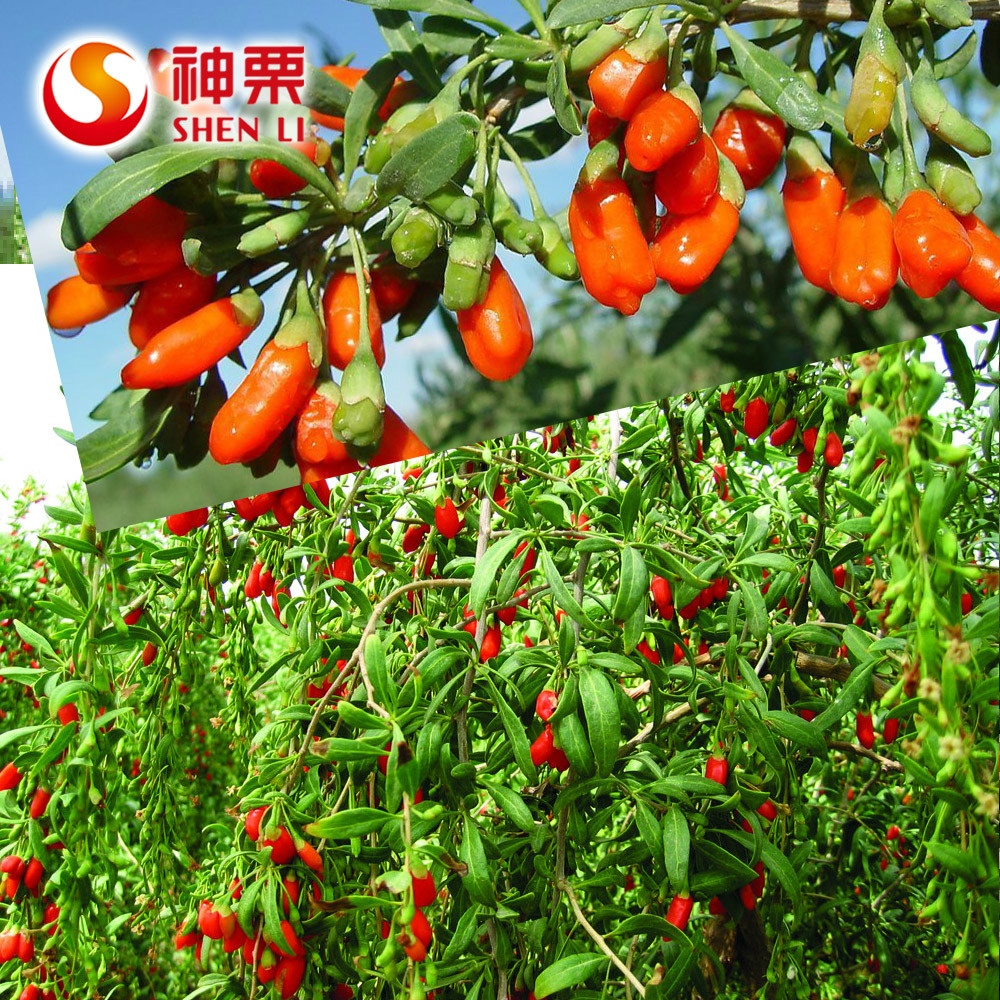 Ready to eat best goji fruit