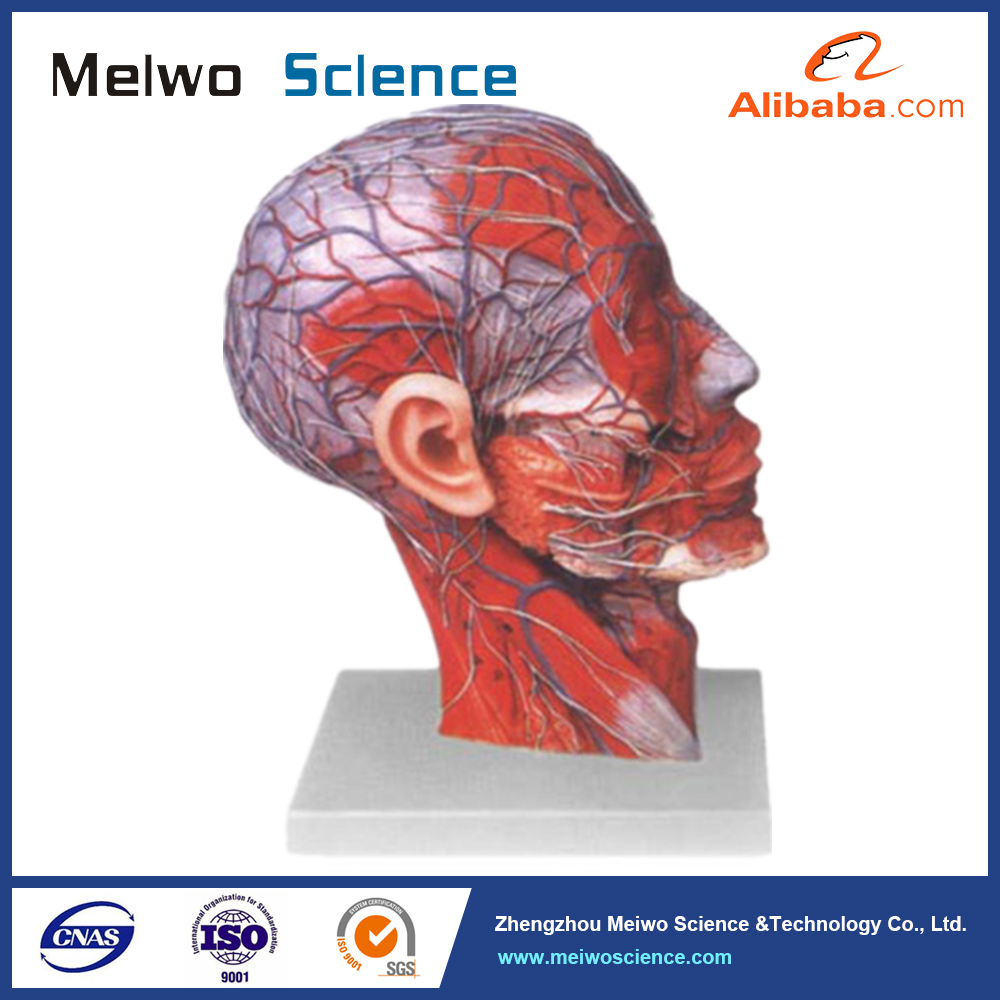 Human head anatomy model