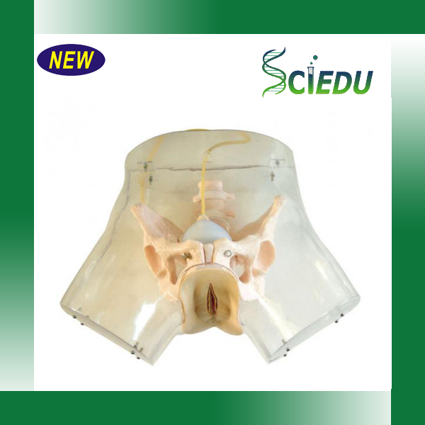 Female Urethral Catheterization Model