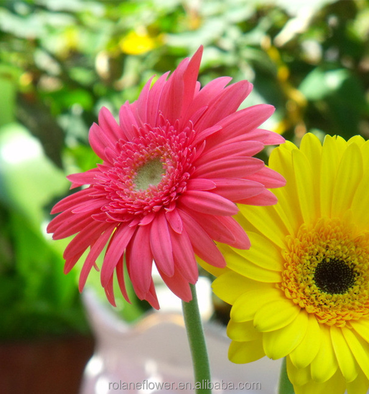 Kunming flower export natural fresh cut wedding gerbera flower with 70-80cm long from Yunnan, China