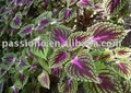 Natural herbal extract forskolin, Coleus forskohlii Extract 20% at lowest price