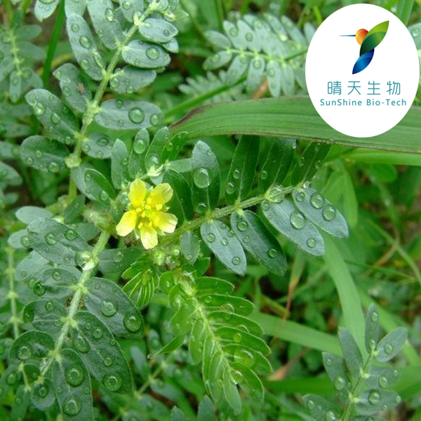 High Quality Dietary supplement Tribulus Terrestris Extract Powder