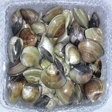 Frozen Whole Cooked Hard Clam in Vacuum Pack