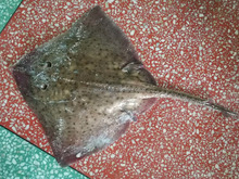 frozen raja radiata whole round skate fish