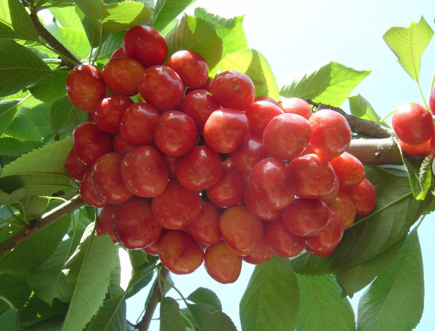 High quality cherry seeds for sale very delicious fruit for Fruit trees for sale