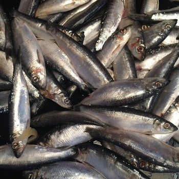 fry fish(herring), fry herring fish