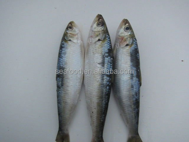 l fresh frozen sardine fish whole round
