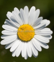 Best Price Real Material Chamomile Extract,98% Apigenin HPLC