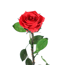 Hot single preserved rose with stem long stem preserved rose
