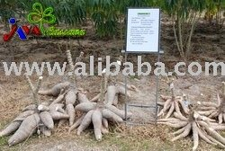 The Giant Cassava / Tapiioca Seed
