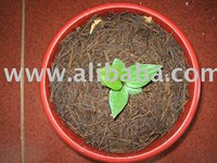 Anthurium Jenmanii Sawi Seedling 5-6 Leaf