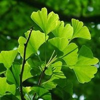 Ginkgo biloba P.E. Ginkgo flavonoids 24%+ antioxidation helps to AD