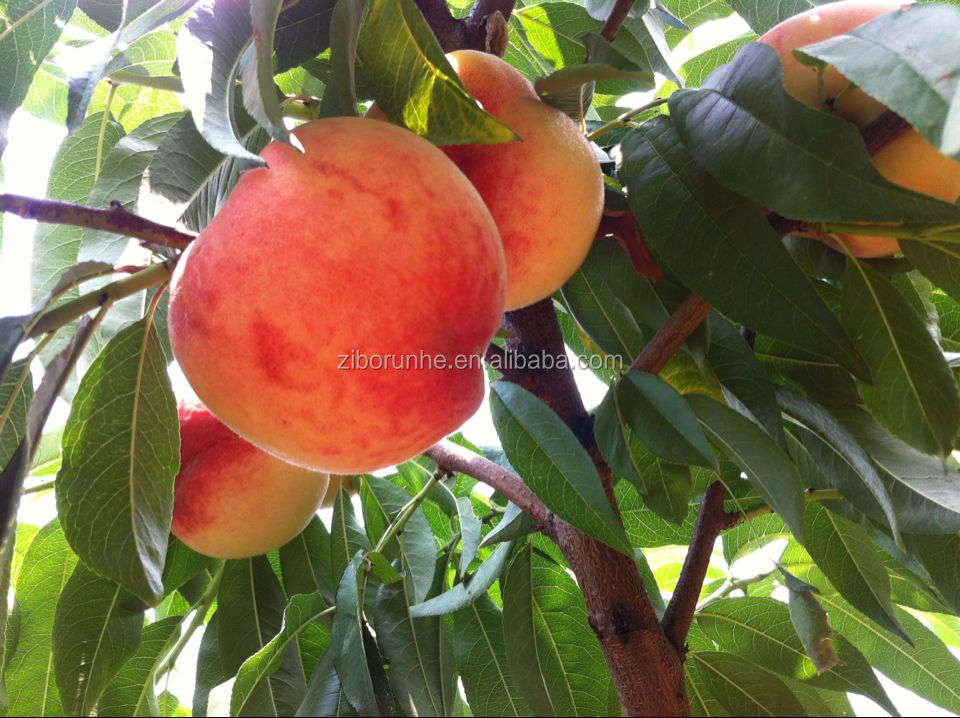 Chiese fresh peach