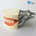 Standard dental study model for tooth preparation with 28 teeth M8015