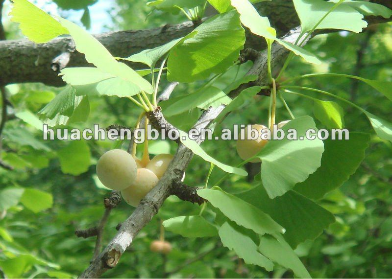 100% Natural Ginkgo Biloba Extract Powder (Flavoglycosides)