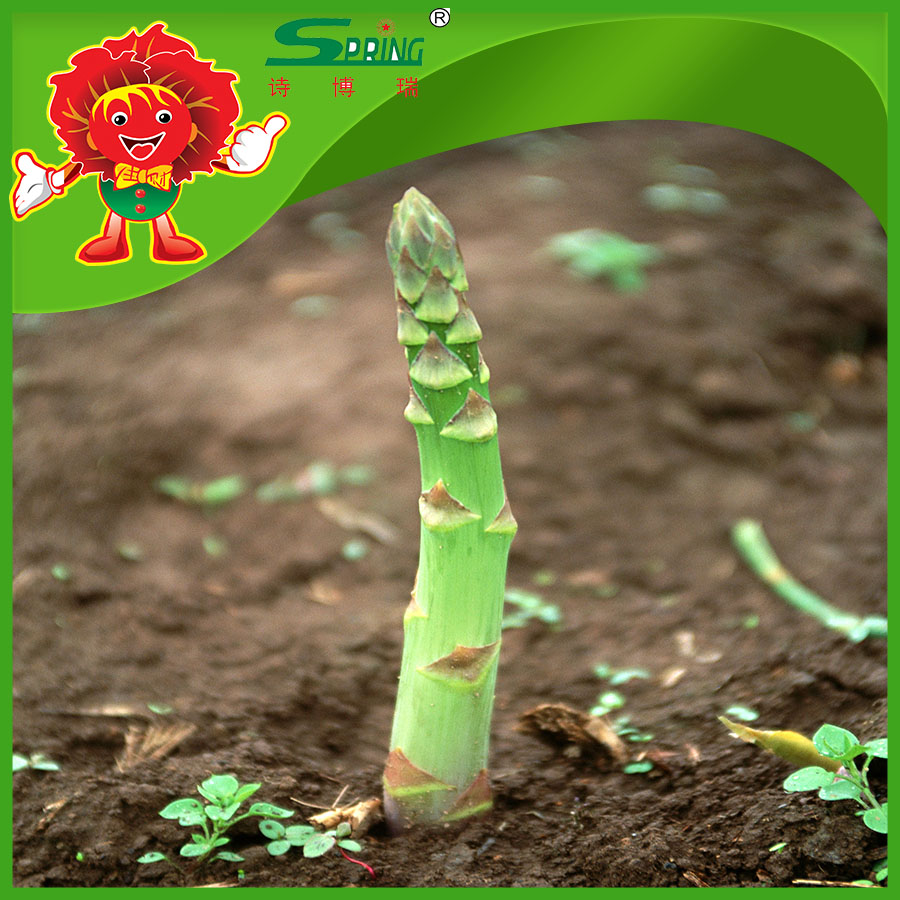 green asparagus IQF 100% Fresh vegetable health benefit vegetable