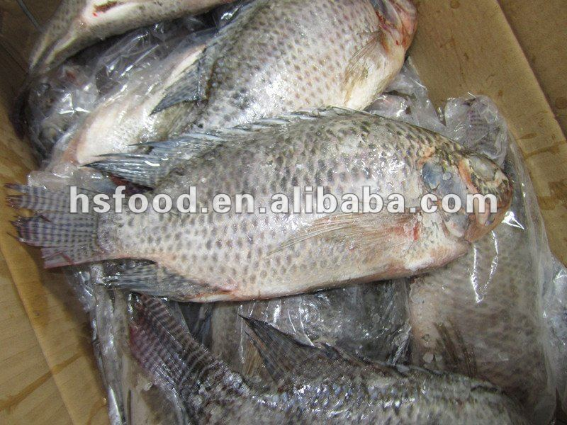 Nutritious Chilled Fresh Fish Whole Gutted and Scaled Black Tilapia HS31
