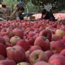 fresh fuji apple fruit and vegetable market prices with high quality