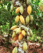 cocao fruit