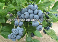 Natural Herbal Extract Bilberry Extract