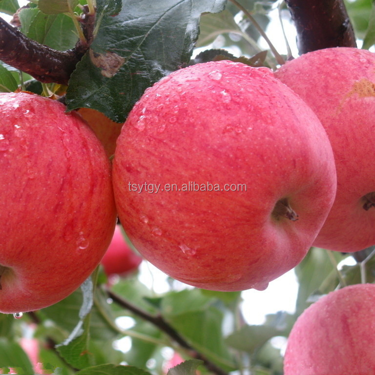 2017 Fresh Fuji apple from China Fresh Fuji apple price