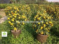 Citrus mitis ( Citrofortunella microcarpa) orange tree 90-100cm for ornamental plant