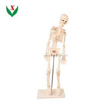 Medium skeleton 85cm tall /Biological teaching equipments