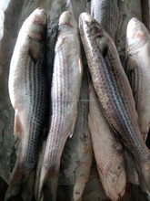 1000g+/pc grey mullet wr roe off new catch
