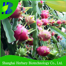 Hybrid red dragon fruits seeds with top quality