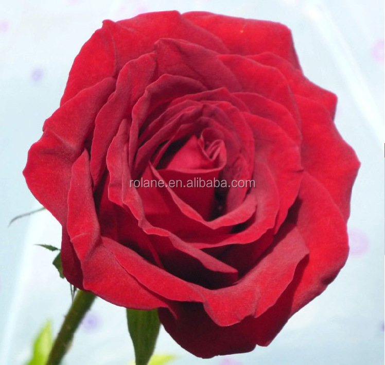KUNMING wholesale preserved The black Magic roses party and wedding decoration fresh cut flowers