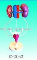 Model of the female urinary system (plastic pvc)